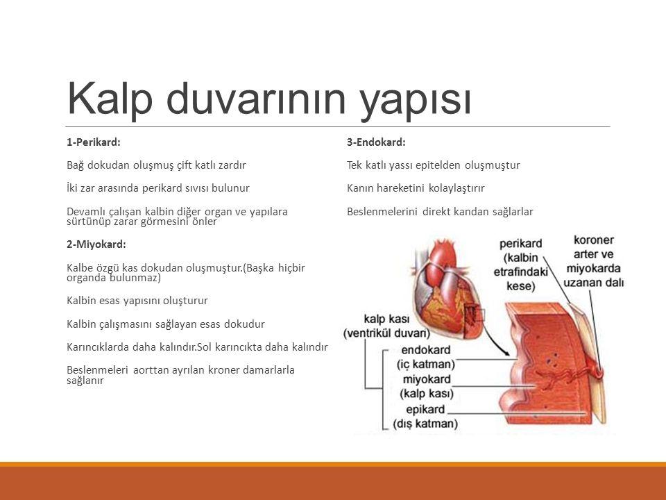 Kalp duvarının yapısı 1-Perikard: Bağ dokudan oluşmuş çift katlı zardır İki zar arasında perikard sıvısı bulunur Devamlı çalışan kalbin diğer organ ve
