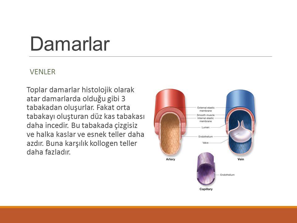 Damarlar VENLER Toplar damarlar histolojik olarak atar damarlarda olduğu gibi 3 tabakadan oluşurlar. Fakat orta tabakayı oluşturan düz kas tabakası da