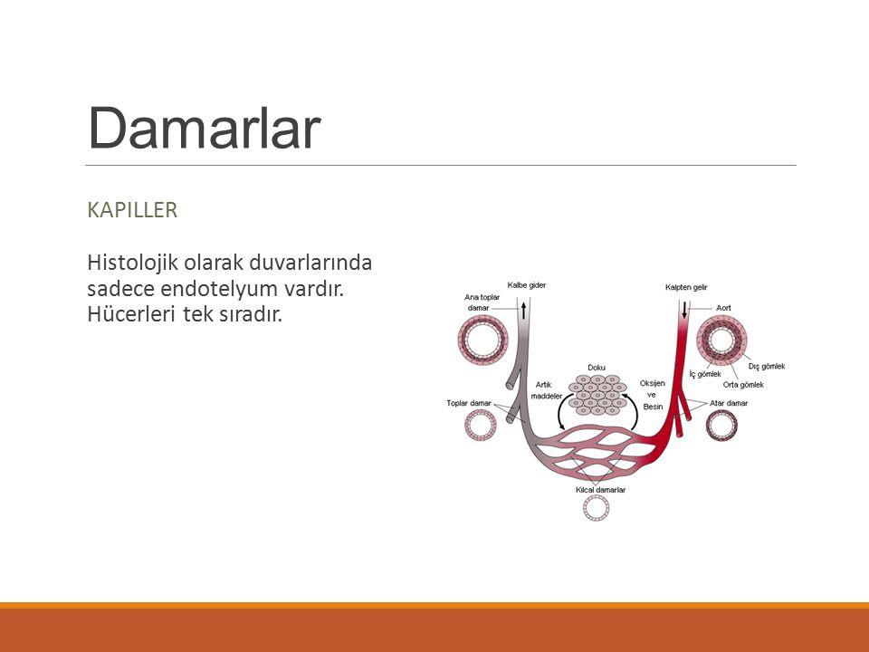 Damarlar KAPILLER Histolojik olarak duvarlarında sadece endotelyum vardır. Hücerleri tek sıradır.