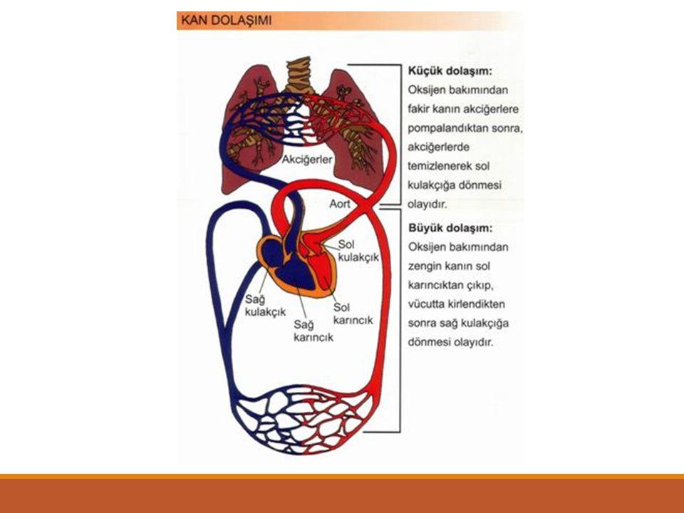 LENF SİSTEMİ Lenf sistemi elemanları: Lenf kılcalları Lenf toplar damarları Lenf düğümleri Lenf sıvısı (Balık ve kurbağalarda lenf kalpleri)