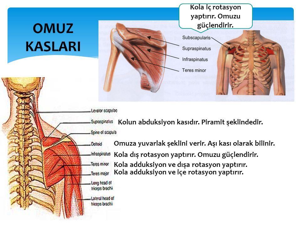 OMUZ KASLARI Omuza yuvarlak şeklini verir.Aşı kası olarak bilinir.