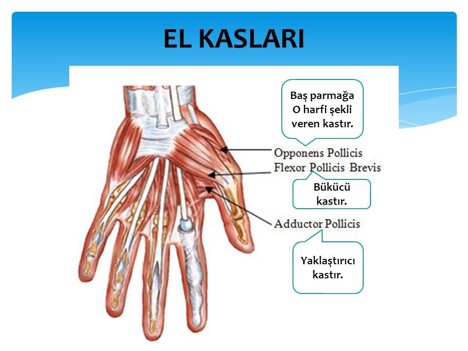 EL KASLARI Yaklaştırıcı kastır. Bükücü kastır. Baş parmağa O harfi şekli veren kastır.