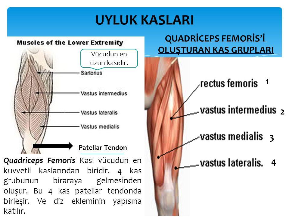 UYLUK KASLARI QUADRİCEPS FEMORİS'İ OLUŞTURAN KAS GRUPLARI Vücudun en uzun kasıdır.