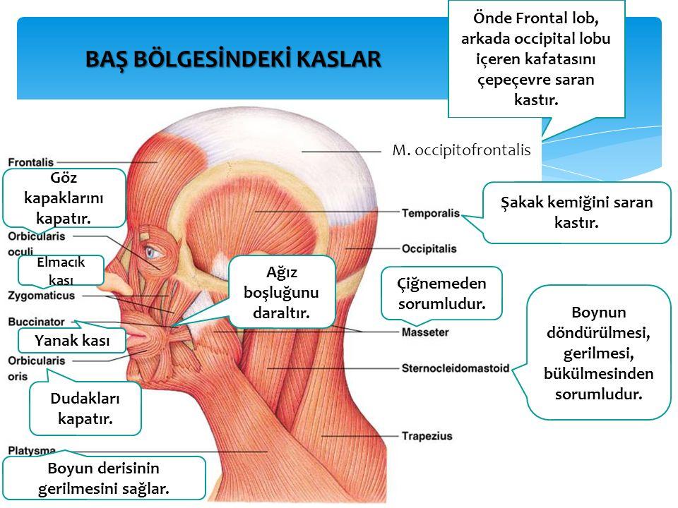 BAŞ BÖLGESİNDEKİ KASLAR Önde Frontal lob, arkada occipital lobu içeren kafatasını çepeçevre saran kastır.