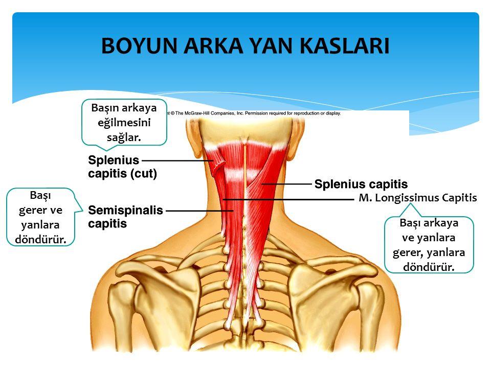 ARKA UYLUK KASLARI İki başlı arka uyluk kasıdır.Bacağın fleksiyon ve ekstensiyonuna katılır.