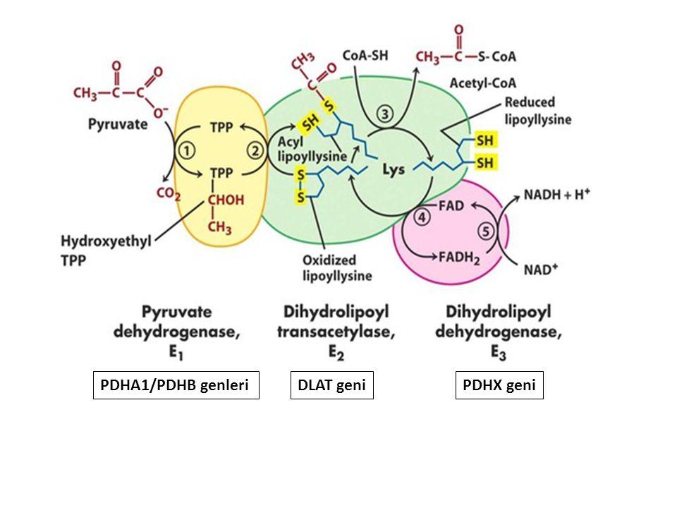 PDHA1/PDHB genleriDLAT geniPDHX geni