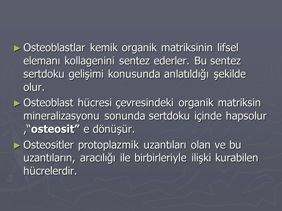 ► Osteoblastlar kemik organik matriksinin lifsel elemanı kollagenini sentez ederler. Bu sentez sertdoku gelişimi konusunda anlatıldığı şekilde olur. ►