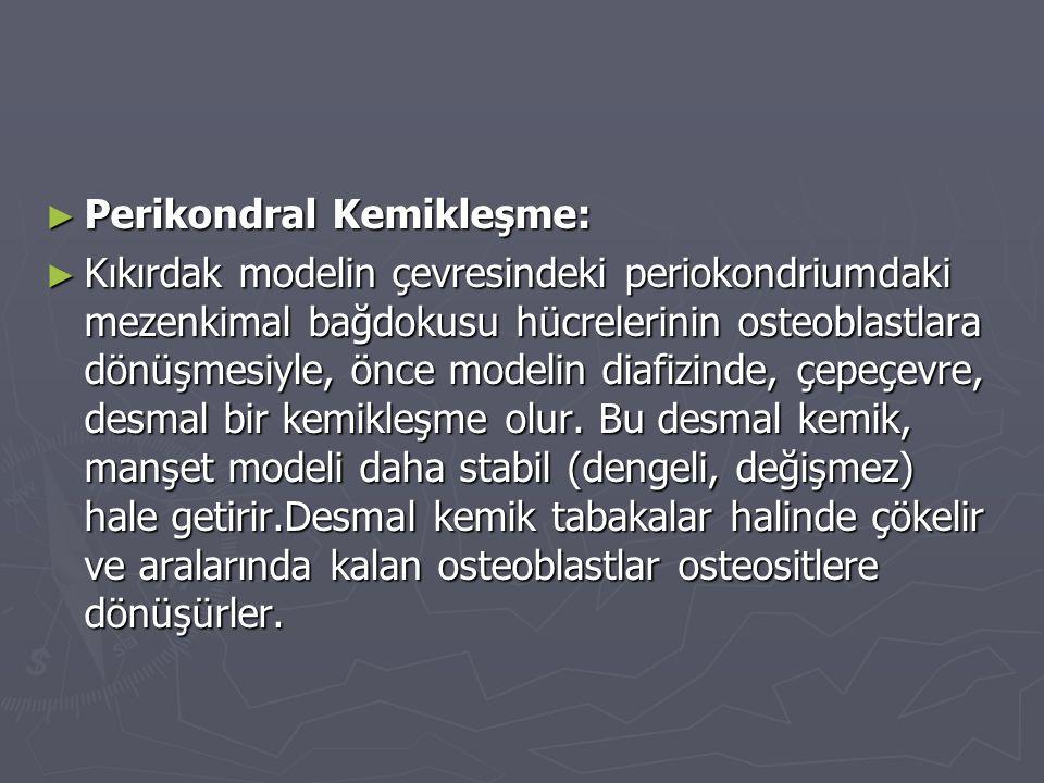 ► Perikondral Kemikleşme: ► Kıkırdak modelin çevresindeki periokondriumdaki mezenkimal bağdokusu hücrelerinin osteoblastlara dönüşmesiyle, önce modeli