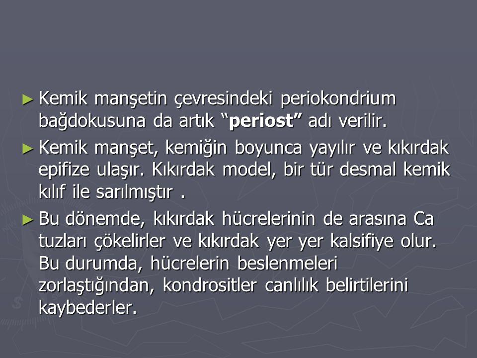 """► Kemik manşetin çevresindeki periokondrium bağdokusuna da artık """"periost"""" adı verilir. ► Kemik manşet, kemiğin boyunca yayılır ve kıkırdak epifize ul"""
