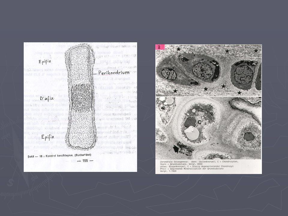 ► Enkondral Kemikleşme ► Kireçleşmiş kıkırdak içindeki mezenkimal bağdokusu içinde, yapı ve sitokimyasal açıdan osteoklastlara çok benzeyen kondroklastlar ortaya çıkarlar.