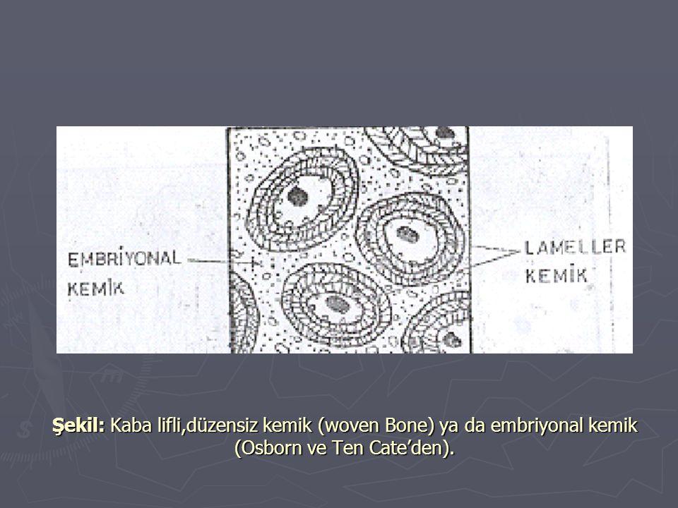 Şekil: Kaba lifli,düzensiz kemik (woven Bone) ya da embriyonal kemik (Osborn ve Ten Cate'den).