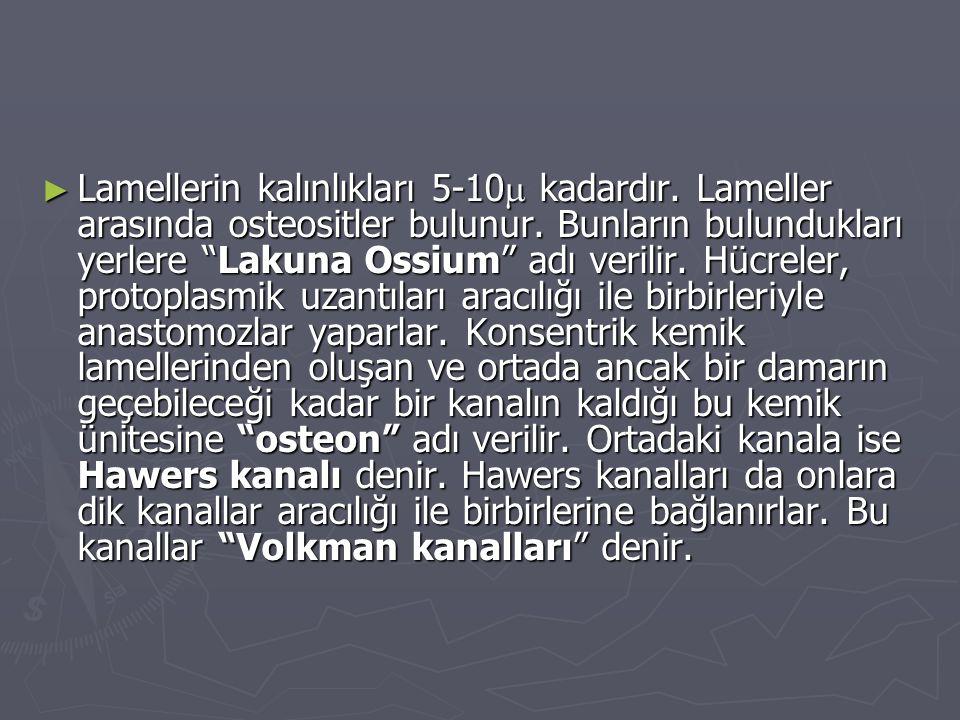 """► Lamellerin kalınlıkları 5-10  kadardır. Lameller arasında osteositler bulunur. Bunların bulundukları yerlere """"Lakuna Ossium"""" adı verilir. Hücreler,"""