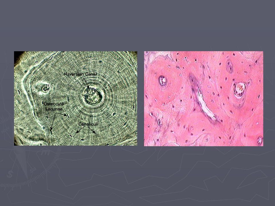 ► Lameller kemik yapısının arasında duraklamalar dinlenme çizgileri (resting-line) adı verilen, konsentrik çizgiler halinde görülür.