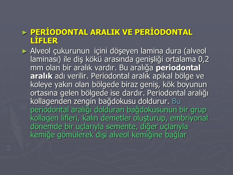 ► PERİODONTAL ARALIK VE PERİODONTAL LİFLER ► Alveol çukurunun içini döşeyen lamina dura (alveol laminası) ile diş kökü arasında genişliği ortalama 0,2 mm olan bir aralık vardır.