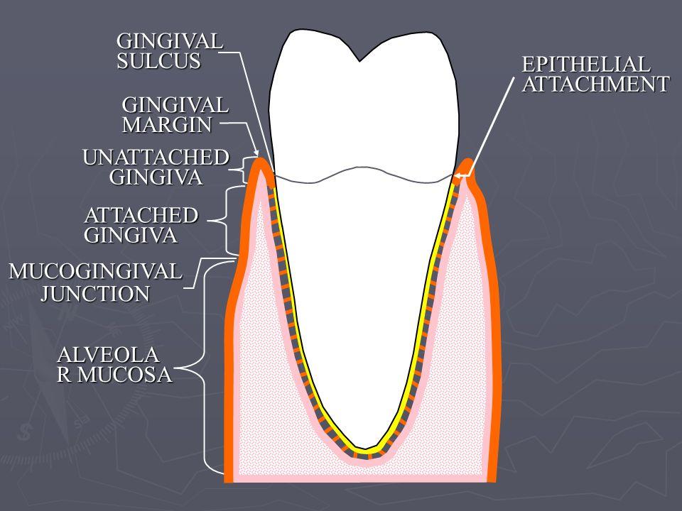 GINGIVAL MARGIN UNATTACHED GINGIVA GINGIVAL SULCUS EPITHELIAL ATTACHMENT ATTACHED GINGIVA ALVEOLA R MUCOSA MUCOGINGIVALJUNCTION
