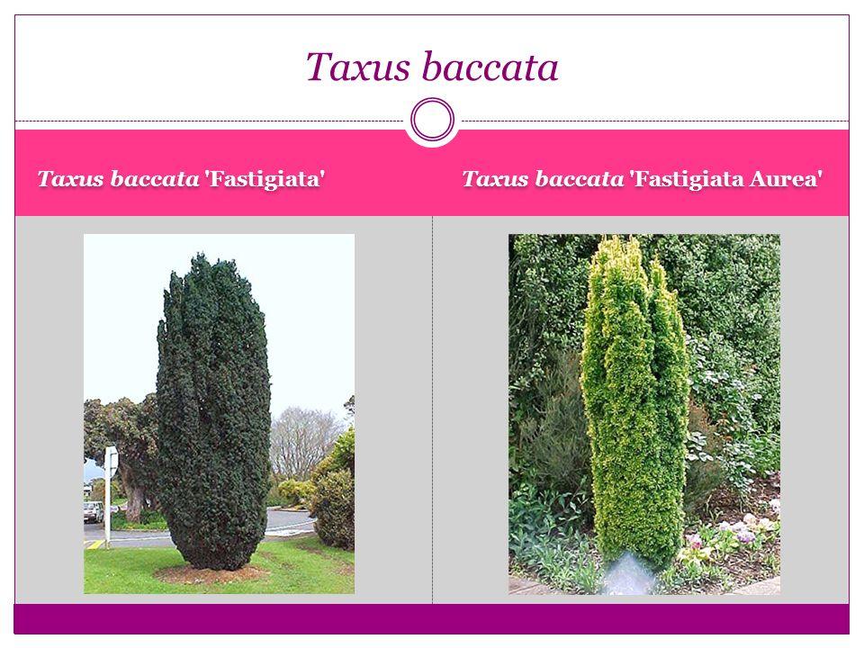 Taxus baccata 'Fastigiata' Taxus baccata 'Fastigiata Aurea' Taxus baccata
