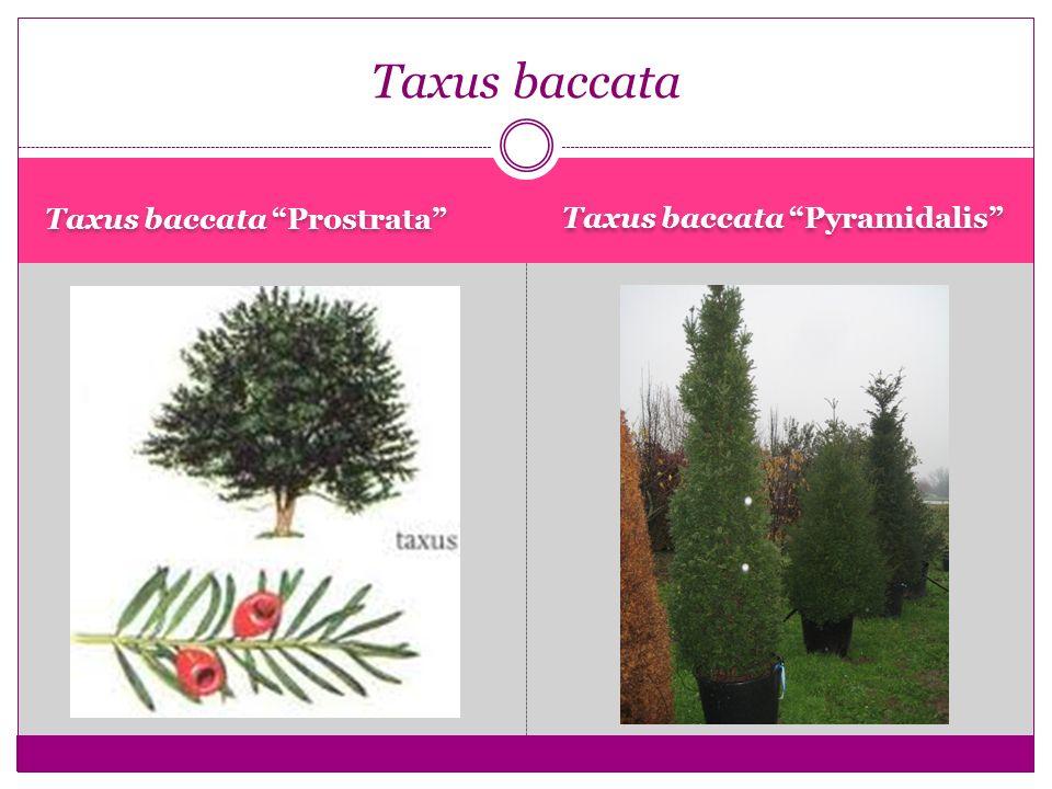 "Taxus baccata ""Prostrata"" Taxus baccata ""Pyramidalis"" Taxus baccata"