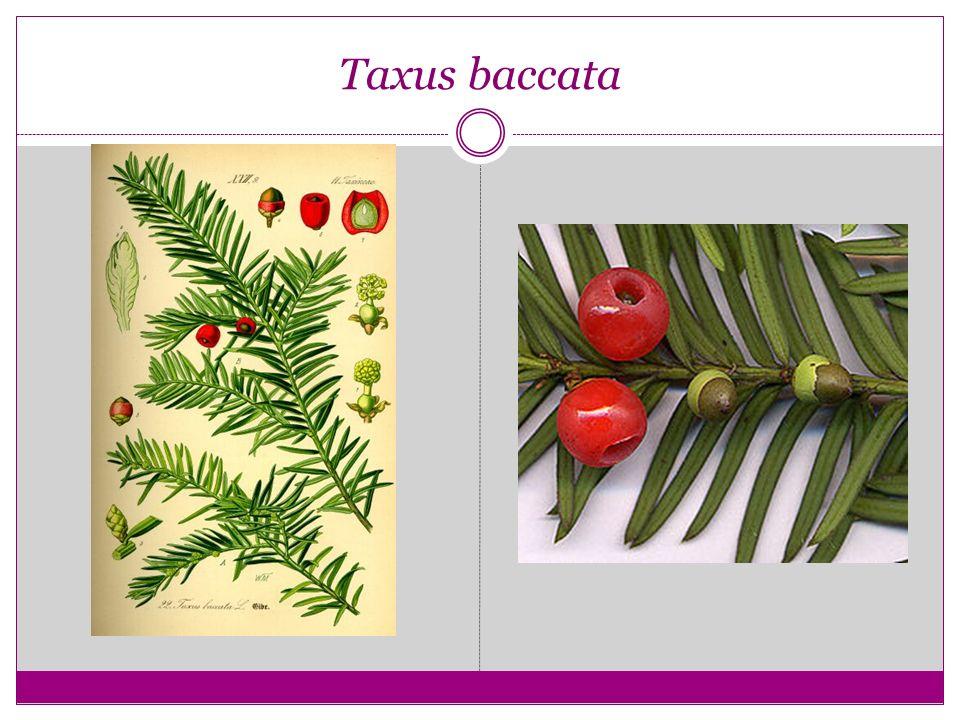 Erkek çiçekler Tomurcuklar Taxus baccata