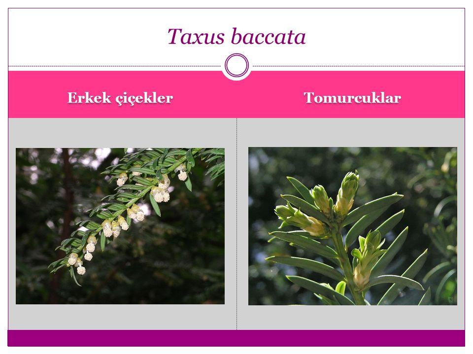 Taxus baccata Fastigiata Taxus baccata Fastigiata Aurea Taxus baccata