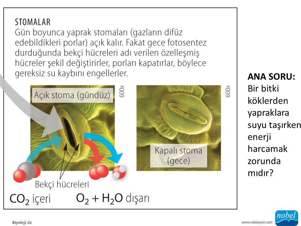 ANA SORU: Bir bitki köklerden yapraklara suyu taşırken enerji harcamak zorunda mıdır