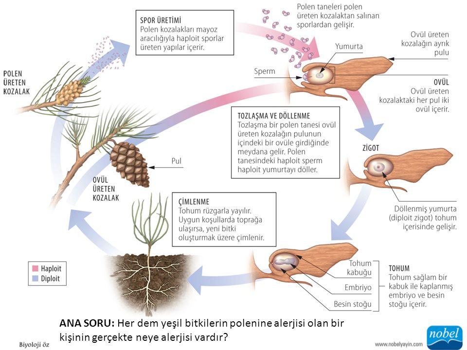 ANA SORU: Her dem yeşil bitkilerin polenine alerjisi olan bir kişinin gerçekte neye alerjisi vardır