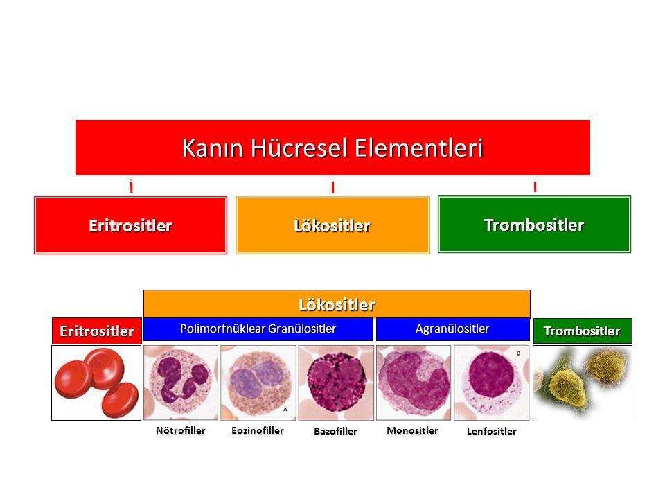 Eritrositler Lökositler Trombositler Kanın Hücresel Elementleri Lökositler Eritrositler Polimorfnüklear Granülositler Trombositler Agranülositler Nötrofiller Eozinofiller Bazofiller Monositler Lenfositler