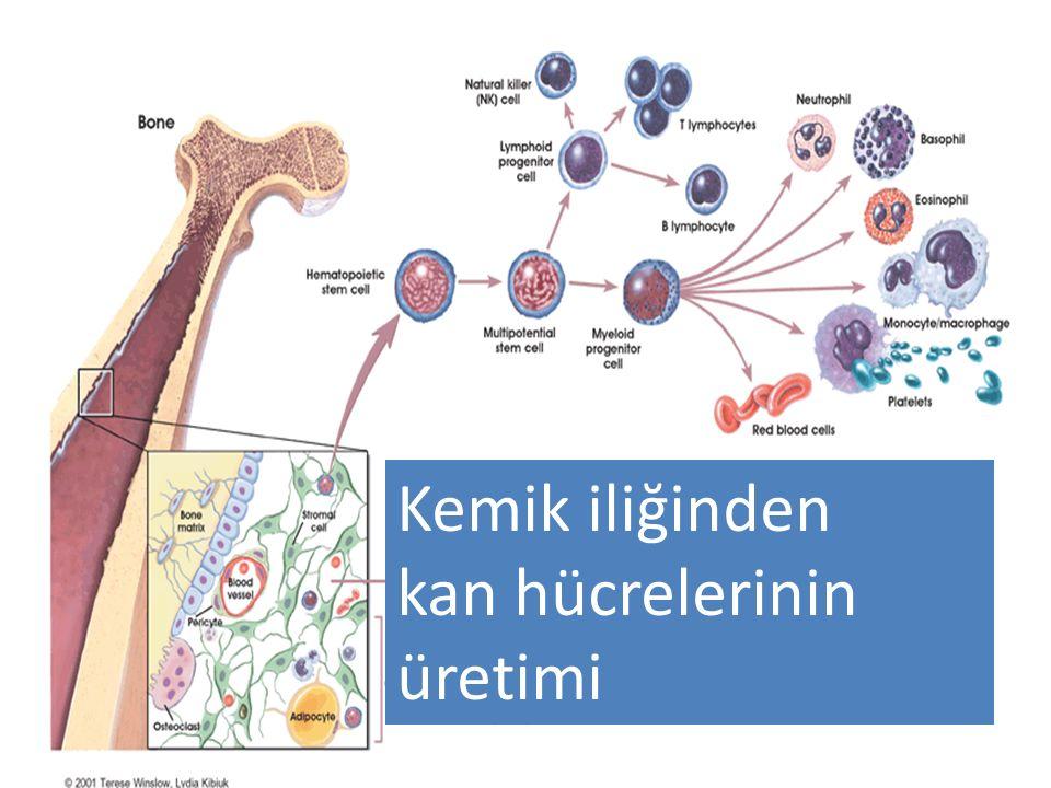 Kemik iliğinden kan hücrelerinin üretimi