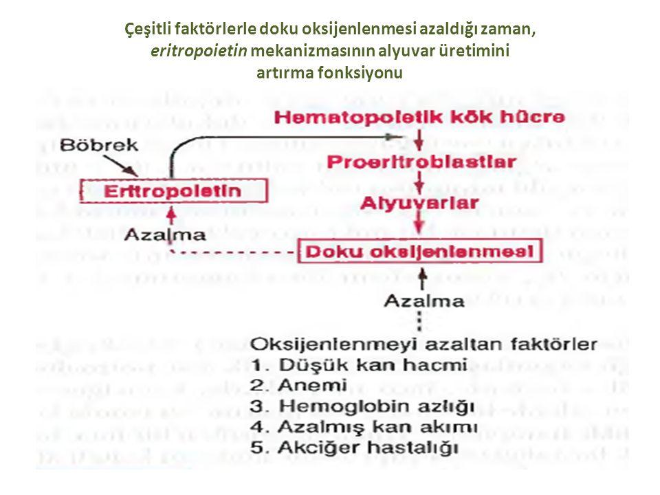 Çeşitli faktörlerle doku oksijenlenmesi azaldığı zaman, eritropoietin mekanizmasının alyuvar üretimini artırma fonksiyonu