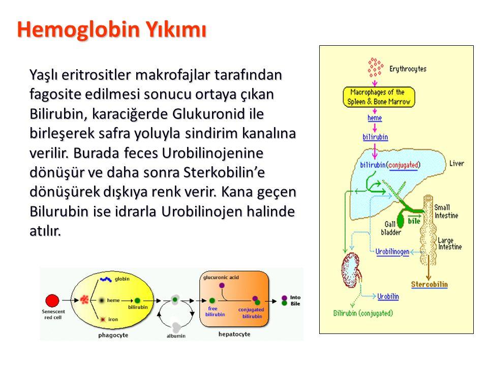 Hemoglobin Yıkımı Yaşlı eritrositler makrofajlar tarafından fagosite edilmesi sonucu ortaya çıkan Bilirubin, karaciğerde Glukuronid ile birleşerek safra yoluyla sindirim kanalına verilir.