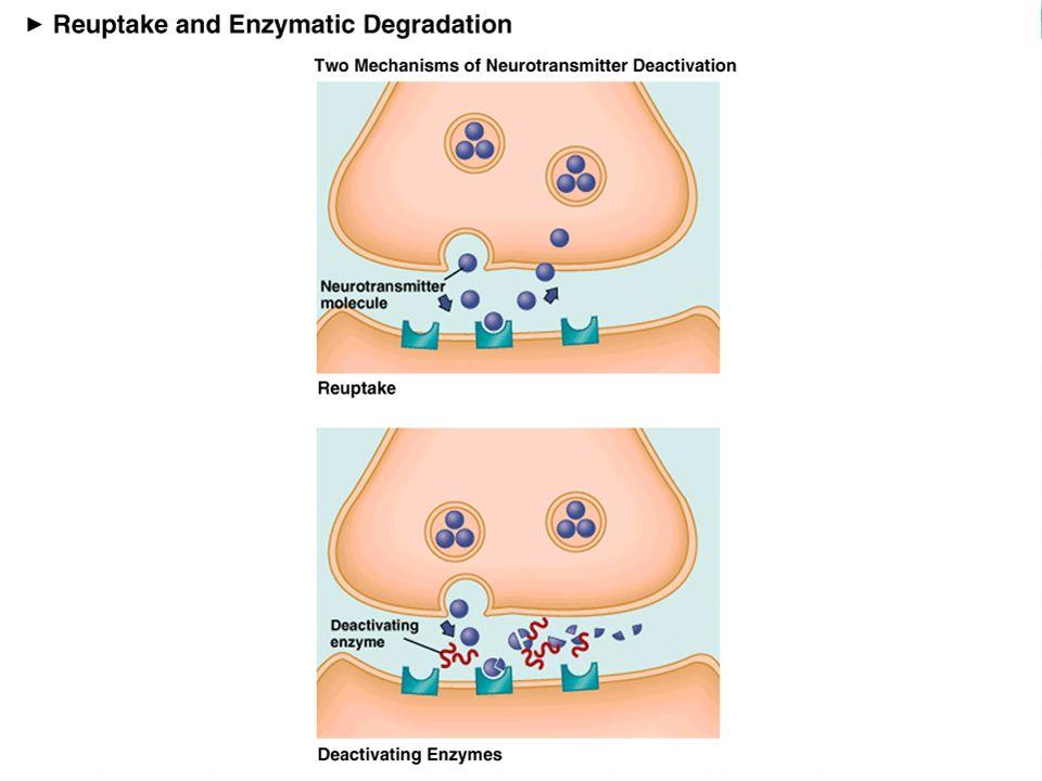 Ödül: Dopamin Zamanlama: Serotonin Eylem: Noradrenalin Öğrenme: Asetilkolin Ç evre Deneyim Nörotransmitter-Davranış