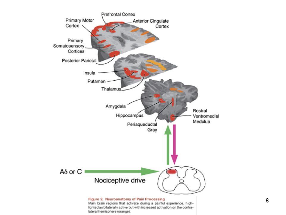 19 Norepinefrin Pontin tegmentumdadaki -locus ceruleus hücre grupları (A5, A6 ve A7) Arka boynuzda, primer nosiseptif terminallerdeki presinaptik  2A reseptörleri nosiseptif transmisyonu ve postsinaptik STT nöronları inhibe ederek, antinosiseptiftirler.