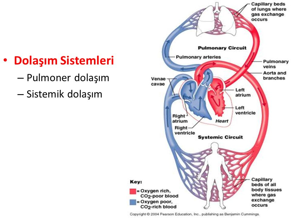 5 Dolaşım Sistemleri – Pulmoner dolaşım – Sistemik dolaşım
