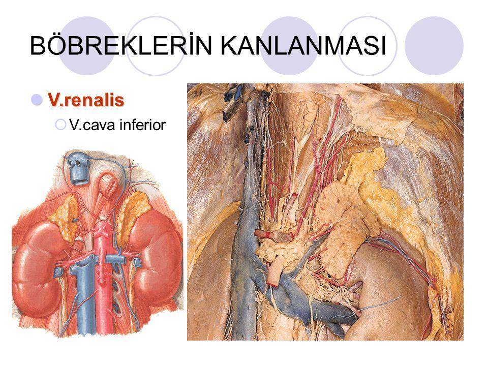 BÖBREKLERİN KANLANMASI V.renalis V.renalis  V.cava inferior