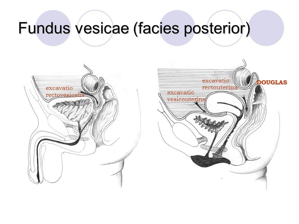Fundus vesicae (facies posterior) excavatiovesicouterina excavatiorectouterina excavatiorectovesicalis DOUGLAS