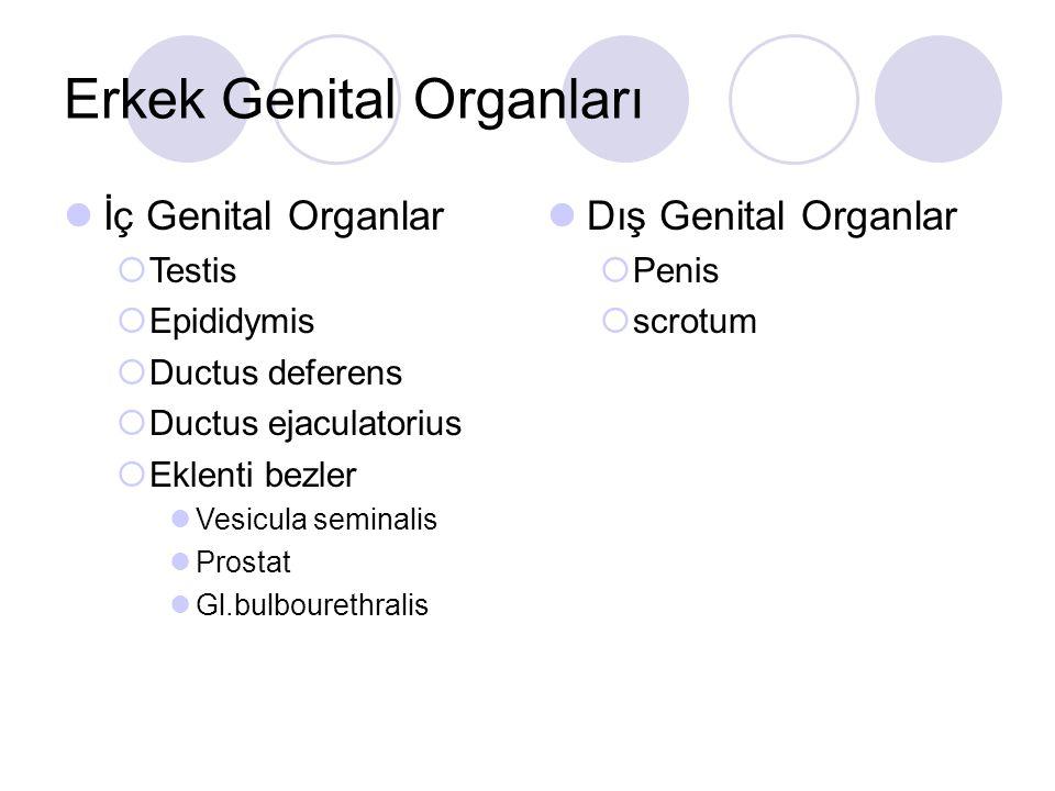 Erkek Genital Organları İç Genital Organlar  Testis  Epididymis  Ductus deferens  Ductus ejaculatorius  Eklenti bezler Vesicula seminalis Prostat