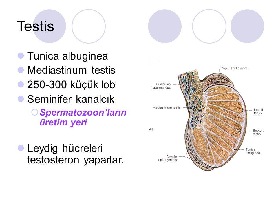 Testis Tunica albuginea Mediastinum testis 250-300 küçük lob Seminifer kanalcık  Spermatozoon'ların üretim yeri Leydig hücreleri testosteron yaparlar