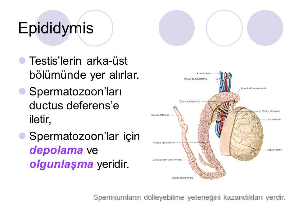 Epididymis Testis'lerin arka-üst bölümünde yer alırlar. Spermatozoon'ları ductus deferens'e iletir, Spermatozoon'lar için depolama ve olgunlaşma yerid
