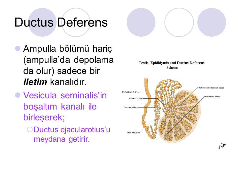 Ductus Deferens Ampulla bölümü hariç (ampulla'da depolama da olur) sadece bir iletim kanalıdır. Vesicula seminalis'in boşaltım kanalı ile birleşerek;
