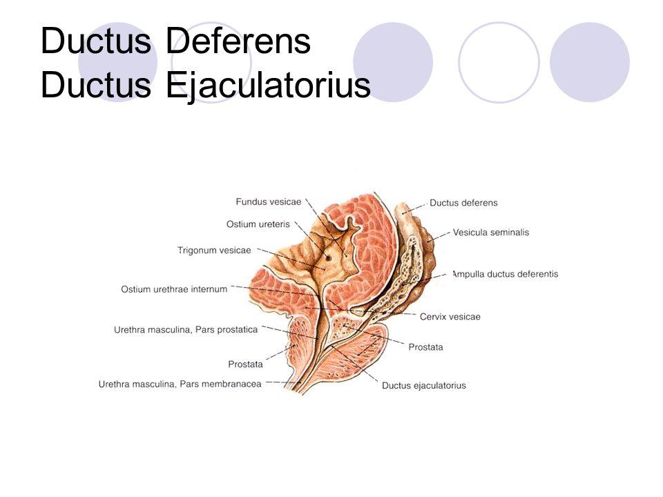 Ductus Deferens Ductus Ejaculatorius
