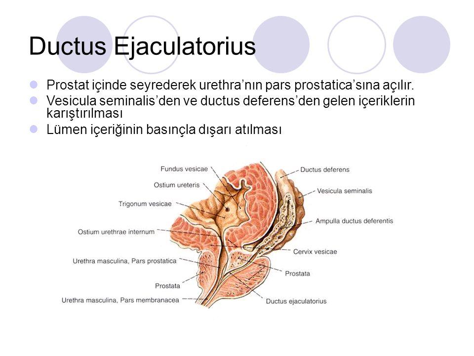 Ductus Ejaculatorius Prostat içinde seyrederek urethra'nın pars prostatica'sına açılır. Vesicula seminalis'den ve ductus deferens'den gelen içerikleri