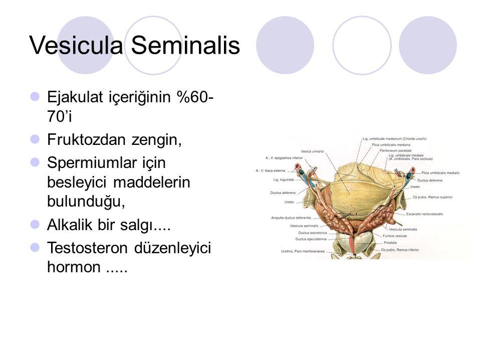 Vesicula Seminalis Ejakulat içeriğinin %60- 70'i Fruktozdan zengin, Spermiumlar için besleyici maddelerin bulunduğu, Alkalik bir salgı.... Testosteron