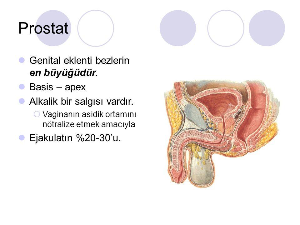 Prostat Genital eklenti bezlerin en büyüğüdür. Basis – apex Alkalik bir salgısı vardır.  Vaginanın asidik ortamını nötralize etmek amacıyla Ejakulatı