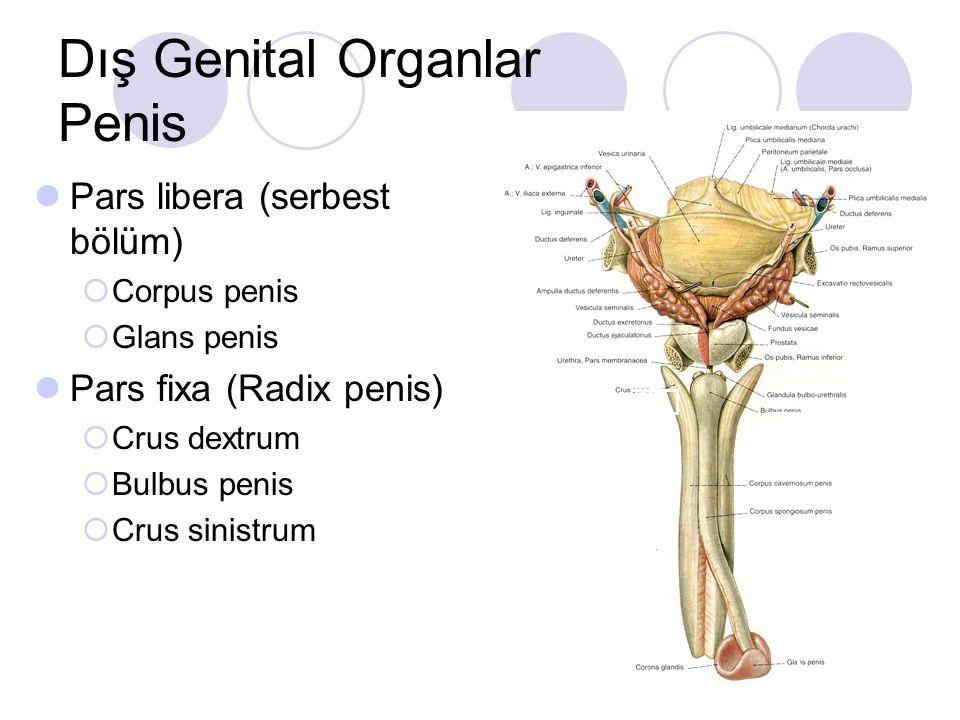 Pars libera (serbest bölüm)  Corpus penis  Glans penis Pars fixa (Radix penis)  Crus dextrum  Bulbus penis  Crus sinistrum Dış Genital Organlar P