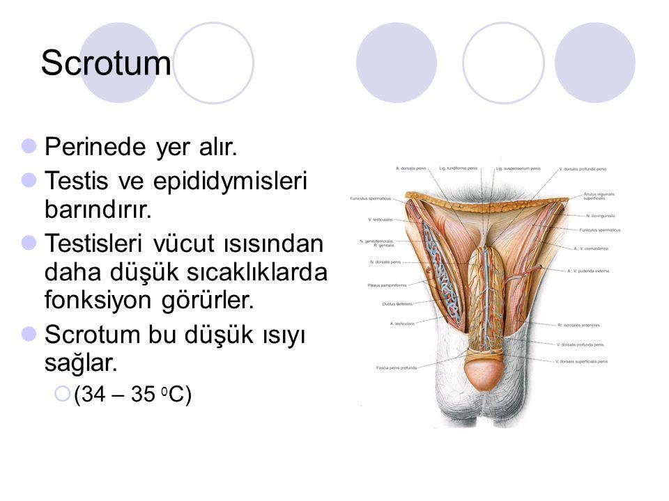 Scrotum Perinede yer alır. Testis ve epididymisleri barındırır. Testisleri vücut ısısından daha düşük sıcaklıklarda fonksiyon görürler. Scrotum bu düş