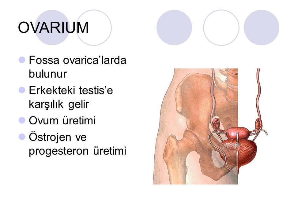 OVARIUM Fossa ovarica'larda bulunur Erkekteki testis'e karşılık gelir Ovum üretimi Östrojen ve progesteron üretimi