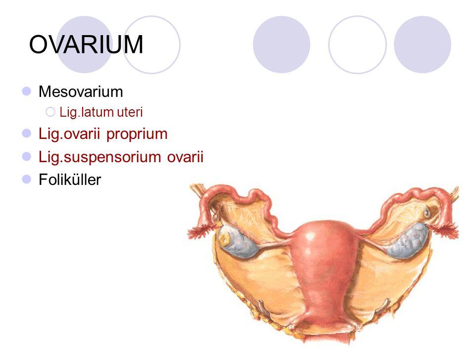 OVARIUM Mesovarium  Lig.latum uteri Lig.ovarii proprium Lig.suspensorium ovarii Foliküller