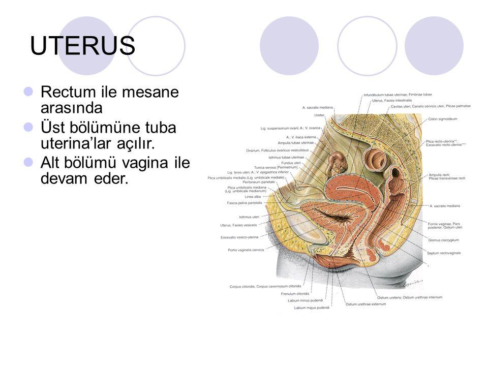 UTERUS Rectum ile mesane arasında Üst bölümüne tuba uterina'lar açılır. Alt bölümü vagina ile devam eder.