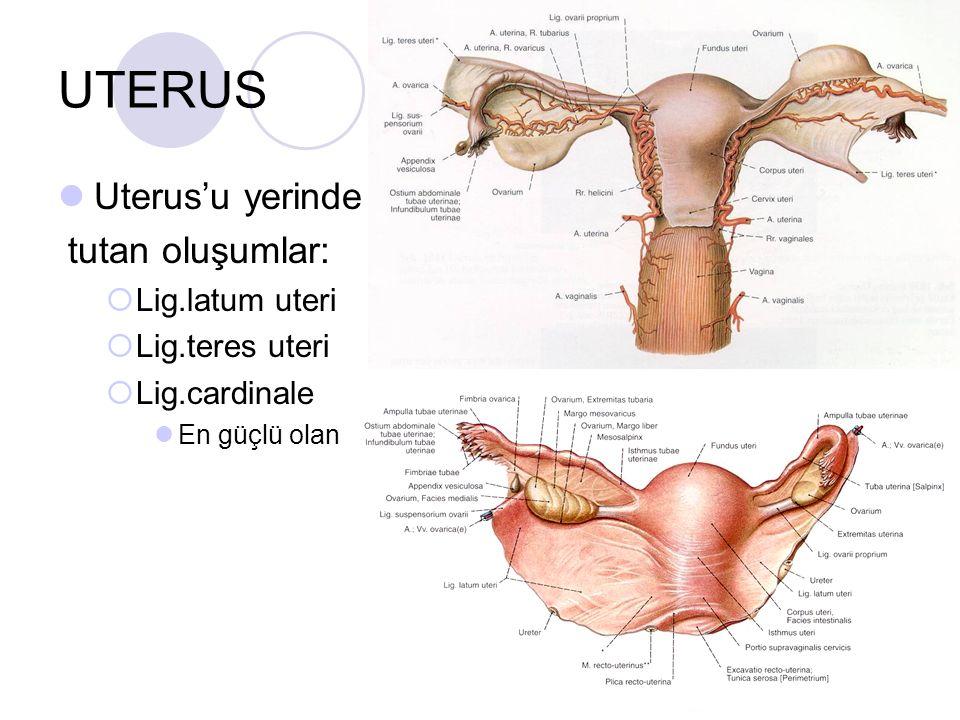 UTERUS Uterus'u yerinde tutan oluşumlar:  Lig.latum uteri  Lig.teres uteri  Lig.cardinale En güçlü olan