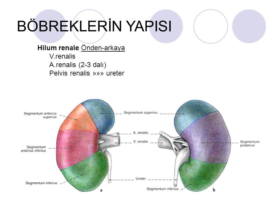 BÖBREKLERİN YAPISI Hilum renale Önden-arkaya V.renalis A.renalis (2-3 dalı) Pelvis renalis »»» ureter