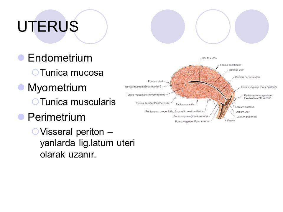 UTERUS Endometrium  Tunica mucosa Myometrium  Tunica muscularis Perimetrium  Visseral periton – yanlarda lig.latum uteri olarak uzanır.